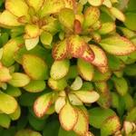 Berberis thunbergii Limoncello (2)