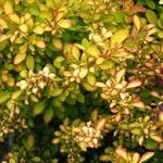 Berberis thunbergii Limoncello (3)