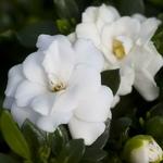 Gardenia jasminoides Double Mint (1)