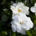 Gardenia jasminoides Double Mint (2)