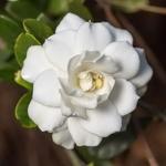 Gardenia jasminoides Double Mint (3)