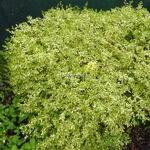 Abelia x grandiflora White Gold