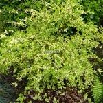 Abelia grandiflora White Gold (2)