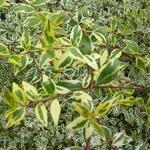 Abelia grandiflora White Gold (4)