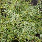 Abelia grandiflora White Gold (6)