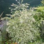 Abelia grandiflora White Gold (5)