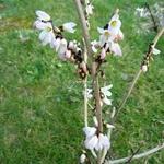 Abeliophyllum distichum Roseum (5)