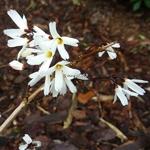 Abeliophyllum distichum Roseum (4)