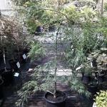 Acer palmatum Dissectum (2)