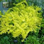 Berberis thunbergii Aurea (2)