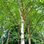 Betula albosinensis septentrionalis