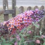 Buddleja x weyeriana Bicolor (2)