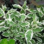 Cornus alba Elegantissima (2)