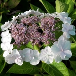 Hydrangea macrophylla Trophée