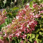 Hydrangea paniculata Ammarin