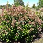 Hydrangea paniculata Early Sensation