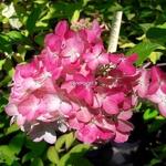 Hydrangea paniculata Fraise Melba (5)