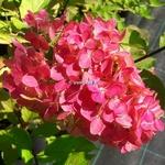 Hydrangea paniculata Fraise Melba (3)