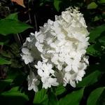 Hydrangea paniculata Pinkachu (2)