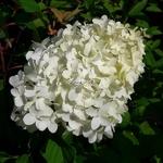 Hydrangea paniculata Pinkachu