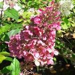 Hydrangea paniculata Pinky Winky (2)