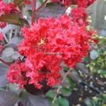 Lagerstroemia indica Dynamite (3)