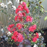 Lagerstroemia indica Dynamite (2)
