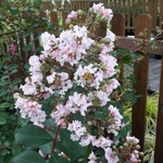 Lagerstroemia indica Rhapsody in Pink (2)