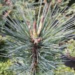 Pinus flexilis Tiny Temple (2)