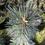 Pinus flexilis Tiny Temple