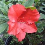 Rhododendron Encore Princess
