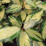 Elaeagnus ebbingei Maryline (2)