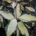 Elaeagnus ebbingei Maryline (4)