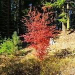 Amelanchier alnifolia (5)