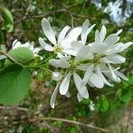 Amelanchier alnifolia (3)
