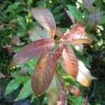 Huodendron biaristatum (4)