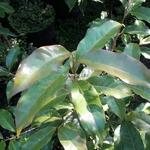 Huodendron biaristatum (2)