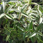 Helwingia himalaica (1)
