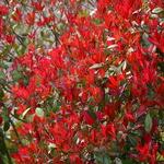 Photinia fraseri Red Robin (3)