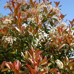 Photinia fraseri Red Robin (1)