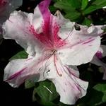 Rhododendron Encore Twist rose (1)