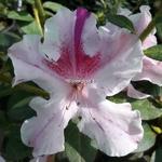 Rhododendron Encore Twist rose