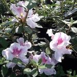 Rhododendron Encore Twist rose (2)