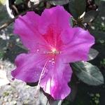 Rhododendron Enocre Twist violet