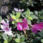 Rhododendron Encore twist mélange