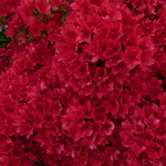Rhododendron Wards Ruby