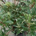 Rhododendron ponticum Variegatum (1)