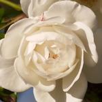 Rosa Fée des Neiges grimpant