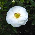 Rosa Innocencia (1)