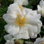 Rosa Innocencia (2)